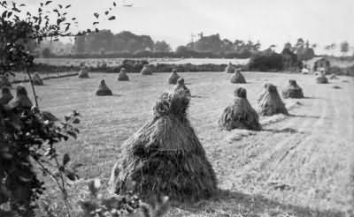 Stooks of hay